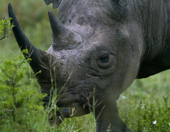 A black rhinoceros grazes in a private game reserve 300km (186 miles) north of Durban