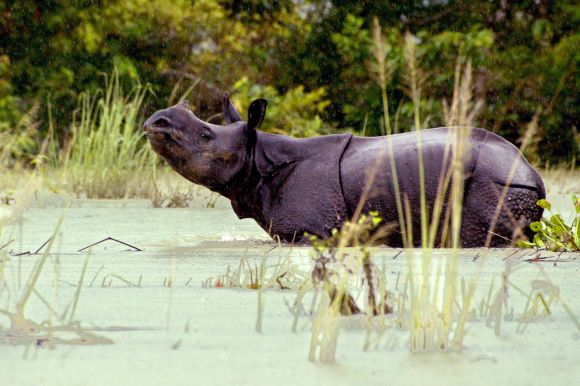 A one-horned Indian rhinoceros walks in the floodwaters of Kaziranga National Park in the northeastern state of Assam
