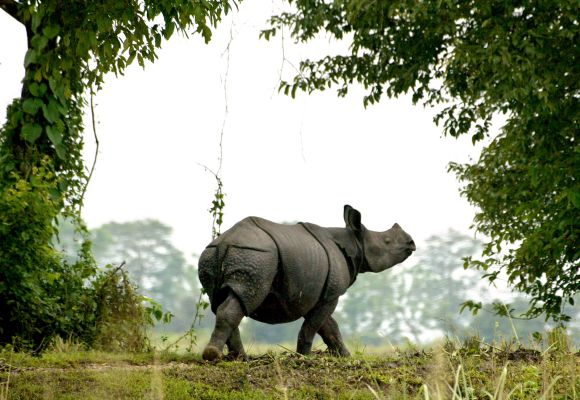 A one-horned Indian rhinoceros walks in Kaziranga National Park in the northeastern state of Assam