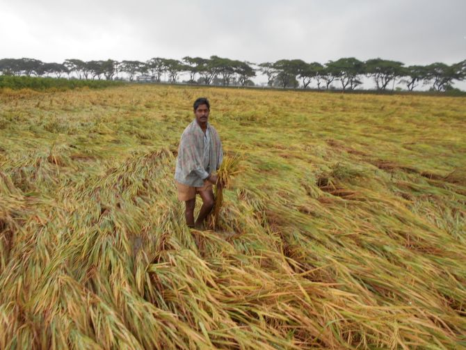 A farmer seen at a paddy field as cyclone-triggered strong winds gush through East Godavari