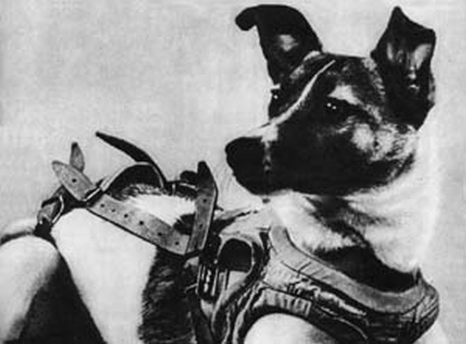 In 1957, Laika in her flight harness.