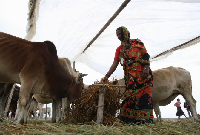 A woman tends to her cattle at a shelter