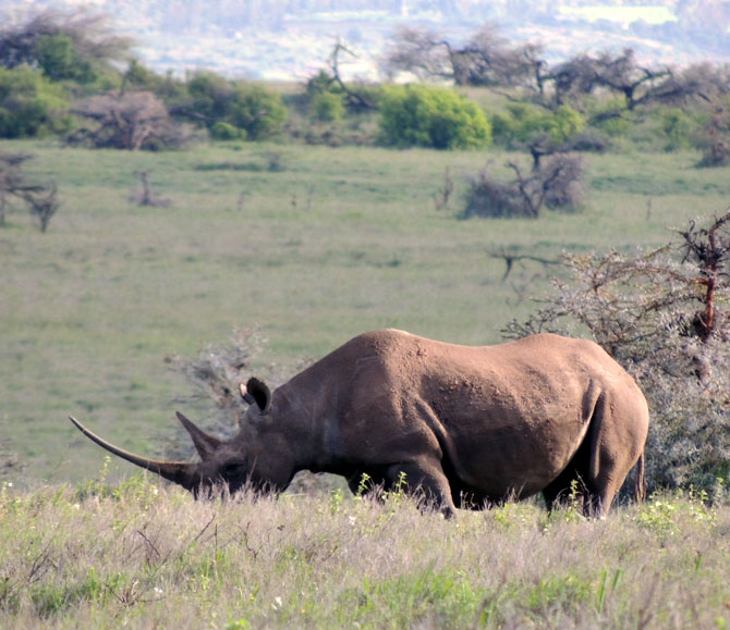 A rhino at the Lewa Wildlife Conservancy in Kenya.