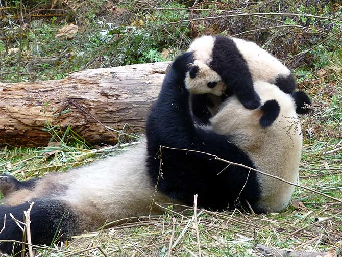 A panda mom and cub at the Wolong panda centre in China.