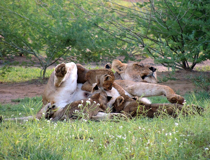 Lions in northern Kenya.