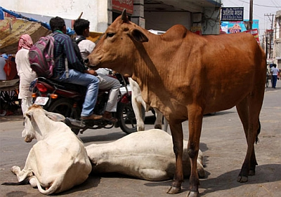 Soon, 5-year-jail term for cow vigilantism in MP
