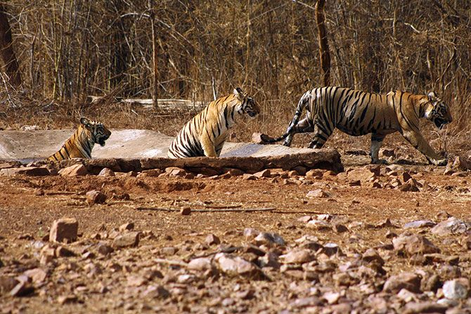 The Magnificient Indian Tigers