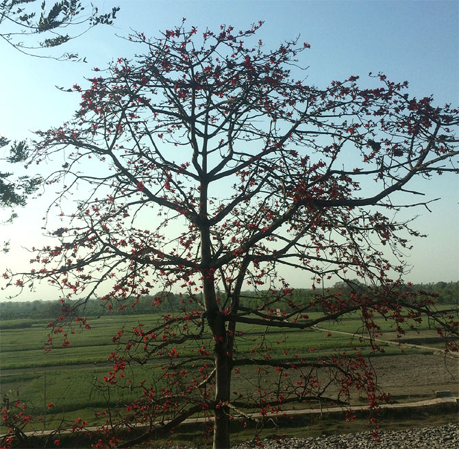 A semal tree in bloom in Simaria village