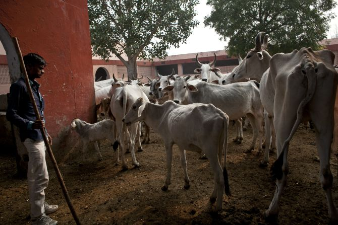 45 cows seized from smugglers die in a Tripura shelter