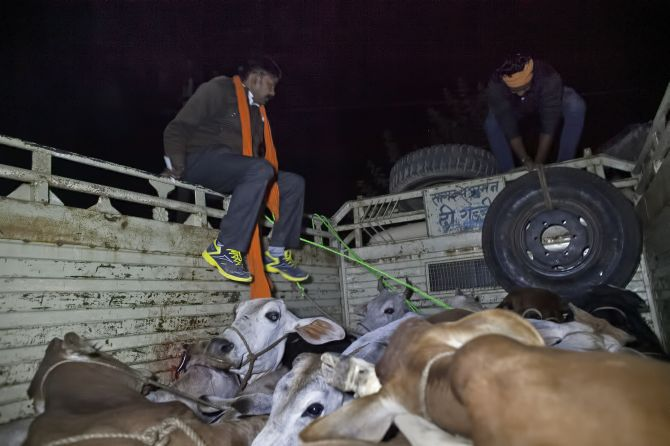 Cows rescued by gau rakshaks, allegedly from cow smugglers. Photograph: Alllison Joyce/Getty Images