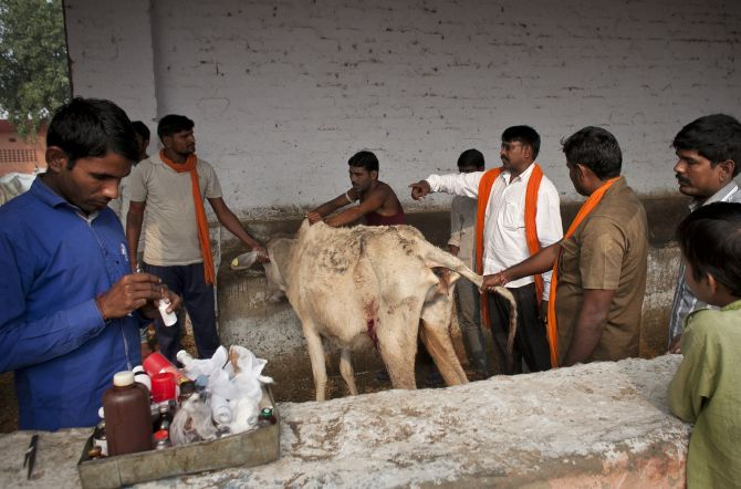 Cows injured in a <em>gau rakshak</em> operation are treated for their injuries at a cow shelter. Photograph: Allison Joyce/Getty Images
