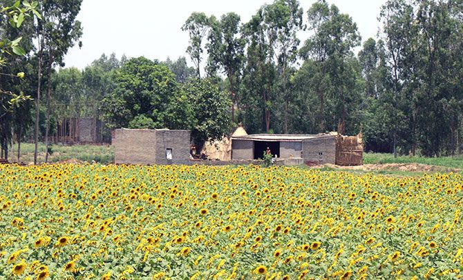 Sunflower fields along the highway in Bathinda