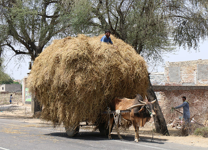 A man carries dried hay in Rajasthan