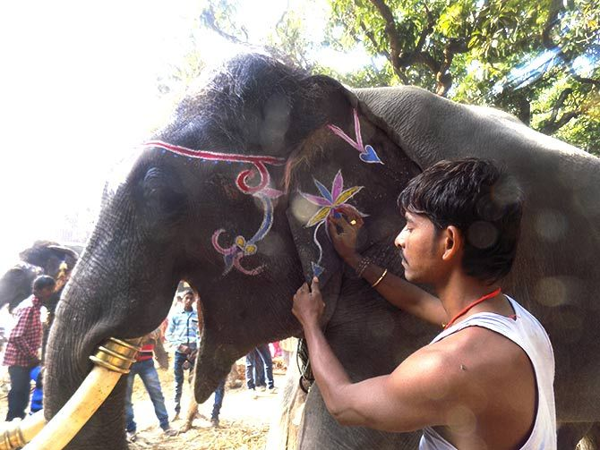 Babusaheb waits patiently while he is decorated by his mahout.