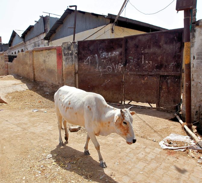 17 cows found dead in Gwalior school premises, 1 held
