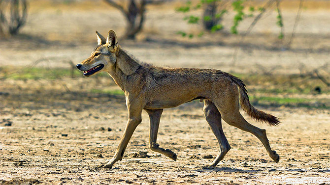 An Indian wolf at Velavadar, in the Blackbuck National Park, Gujarat. Photograph: Courtesy Dhaval Vargiya/Wikimedia Commons.