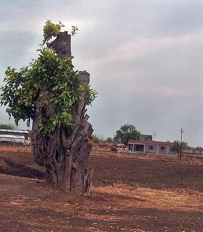 Remnants of a chopped tree on the way to Parbhani