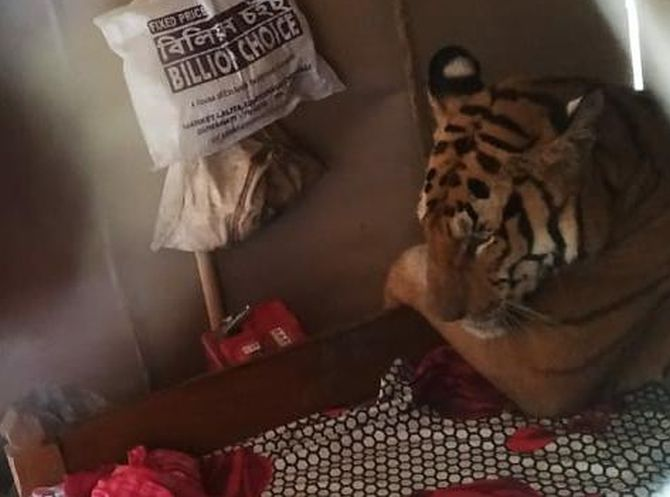 Escaping flooding in Assam, tiger 'books into' a house