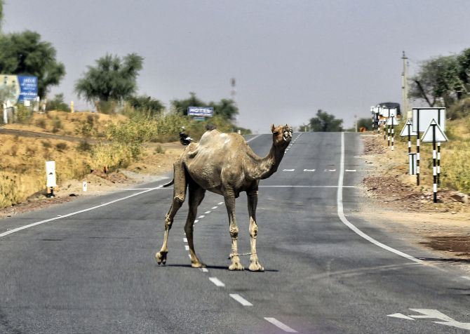 A camel stands on a road on a hot summer day in Churu. Photograph: PTI Photo