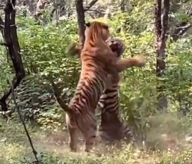 WATCH: When two tigers fought over tigress