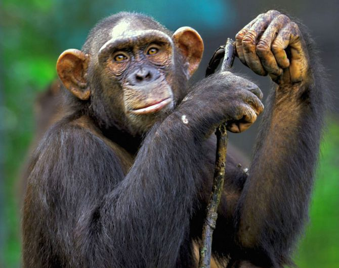 ED attaches chimpanzees, marmosets under PMLA in WB