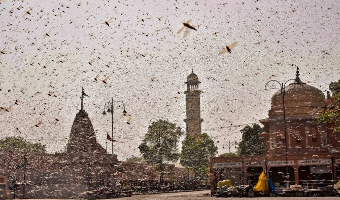 Swarms of locusts enter Jaipur residential areas