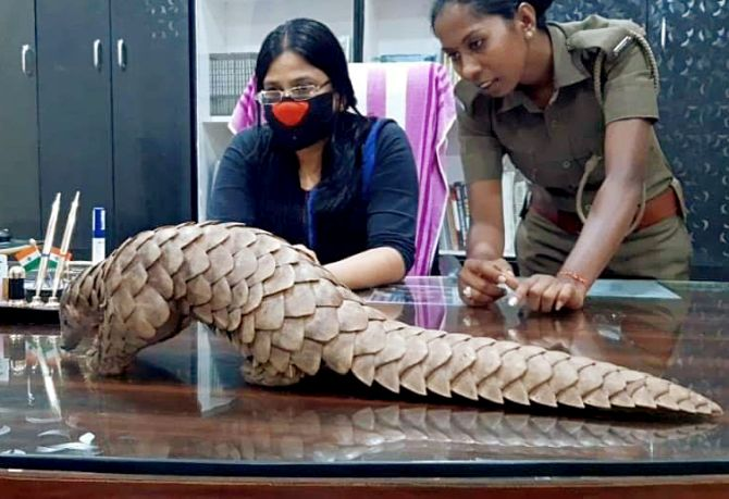 Pangolin found in Odisha to undergo COVID-19 test