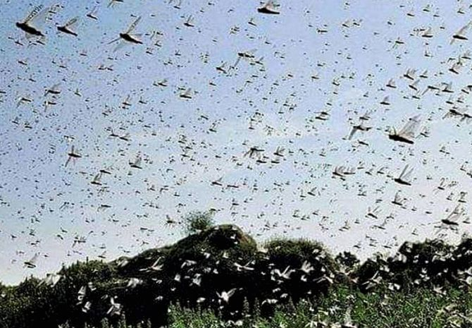 Ops to clear locusts swarms in UP, Maha farmers warned