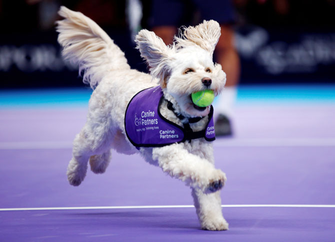 A dog from the charity 'Canine Partners' acts as ball boy for a game during a Champions Tennis doubles match between Mansour Bahrami-Juan Carlos Ferrero and Henri Leconte-Mikael Pernfors at the Royal Albert Hall in London, on Thursday