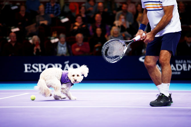 A dog from the charity 'Canine Partners' acts as a ball boy during the Champions Tennis doubles match